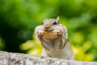Getting Rid of Chipmunks – How-to Guide for Humane Removal
