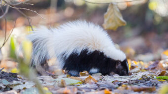 How to Get Rid of Skunk Smell: A Complete De-Skunking Guide