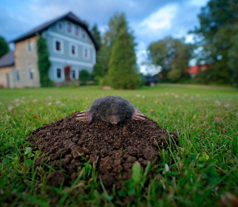 How to Get Rid of Moles in Your Garden (No Digging!)