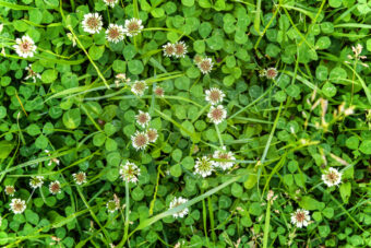 Getting Rid of Clover Naturally – Full How-to Guide