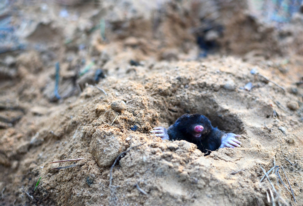 mole coming out of a tunnel