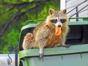 Getting Rid of Raccoons – How-to Guide for Avoiding a Raccon Infestation