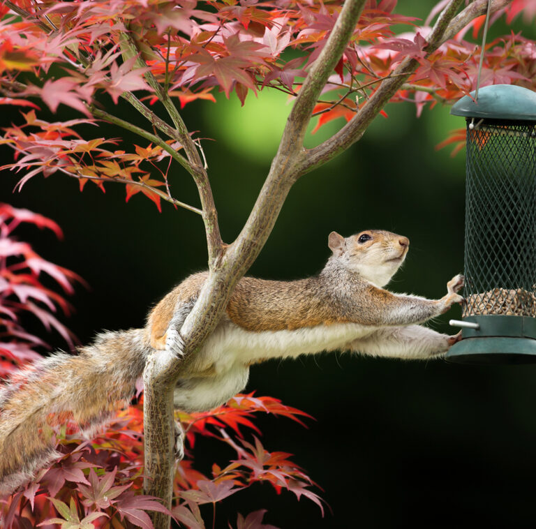 Keeping Squirrels Away From Bird Feeders: Is It Possible?