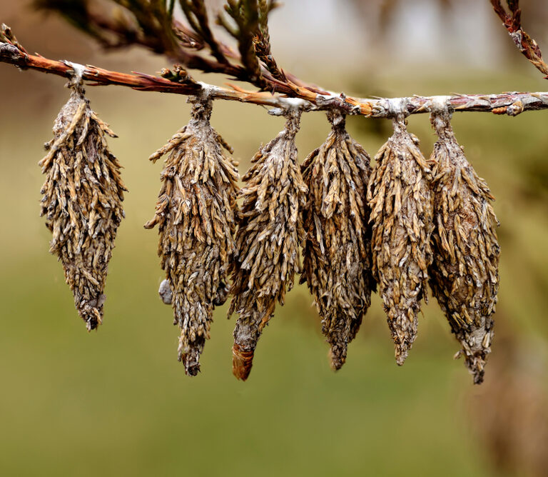 How to Get Rid of Bagworms – 3 Best Methods