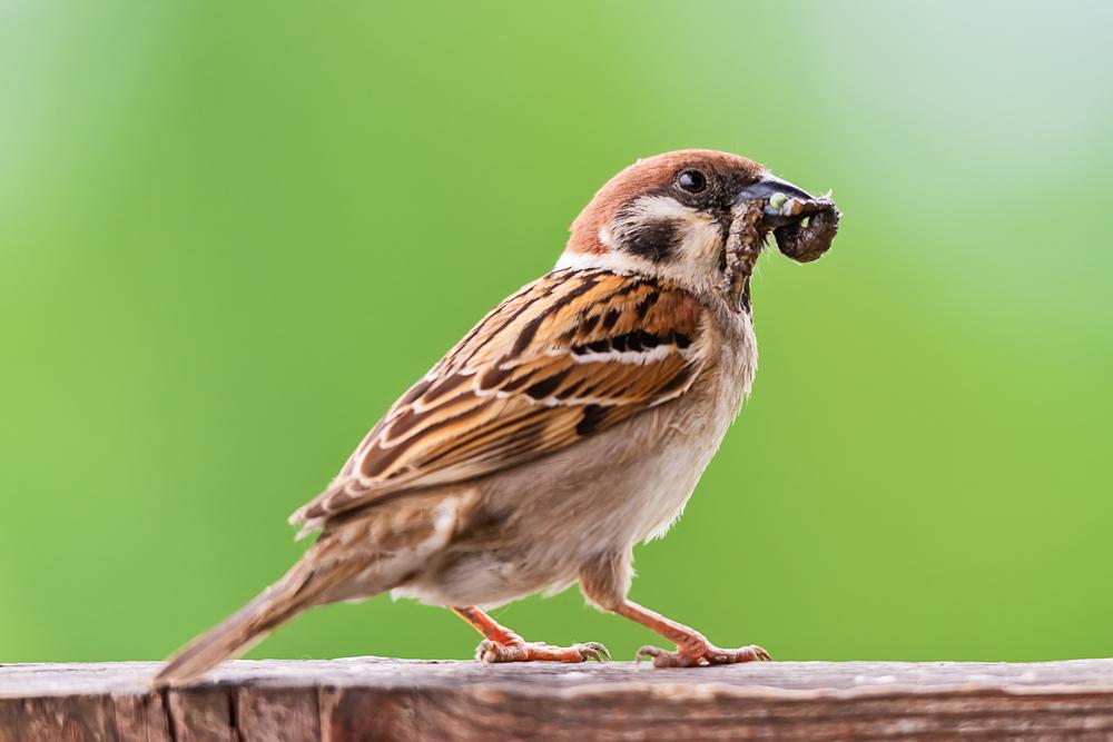 Sparrow eating a caterpillar