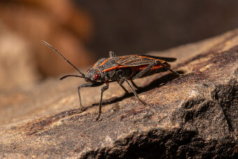 Pest Control: How to Get Rid of Boxelder Bugs