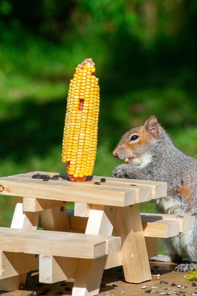 Squirrel eats corn next to a picnic table feeder