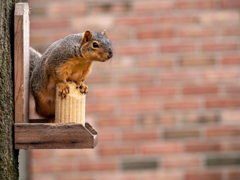 Squirrel stands on corn cob feeder