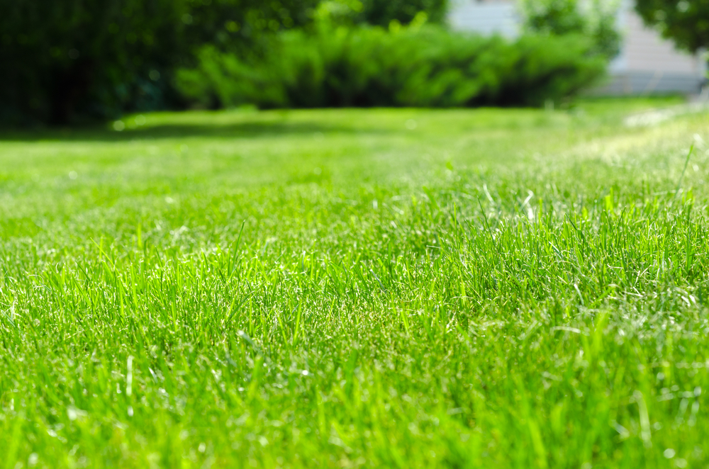 close-up of lush, green, healthy lawn