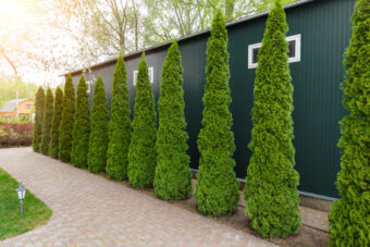 Fast-Growing Evergreens to Spruce up Your Yard