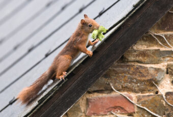How to Get Squirrels Out of Your Attic (And Keep Them Out!)