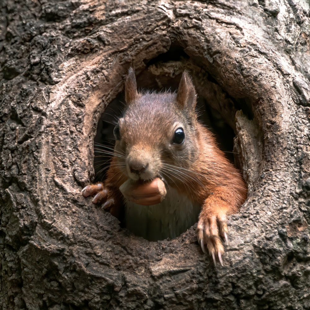 a squirrel holding a nut in its mouth peeks out of a tree