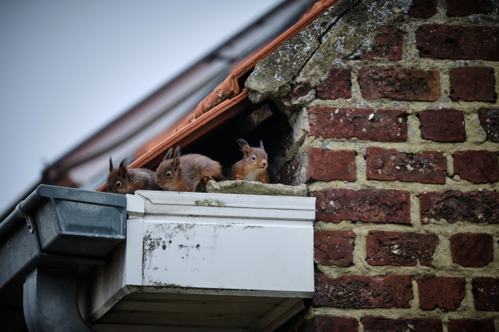 three squirrels stand in the eave of a roof